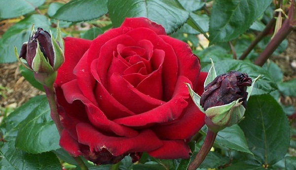 Tips Cara Merawat Tanaman Bunga Mawar Tukangtamanasri
